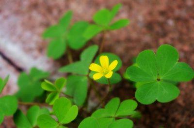 酢漿草の写真